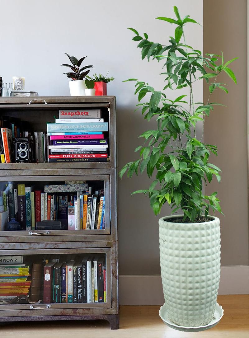 Cây trúc nhật trồng trong chậu sứ trắng đặt cạnh giá sách trong nhà