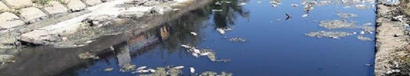 Cá chết trắng trên những sông ngòi