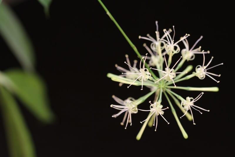 Hoa Cây Trúc Nhật 800x534