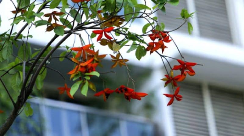 Một cành cây sang nặng trĩu những chùm quả sang đỏ đầy đạt