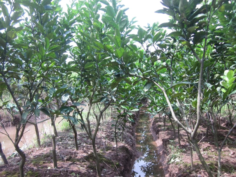 Cây bưởi được trồng thành luống