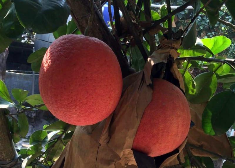 Cây bưởi đỏ với hai quả chín mọng