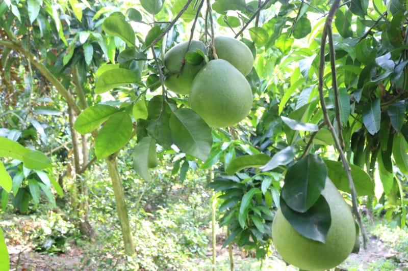 Cây bưởi trồng tại vườn mùa ra quả