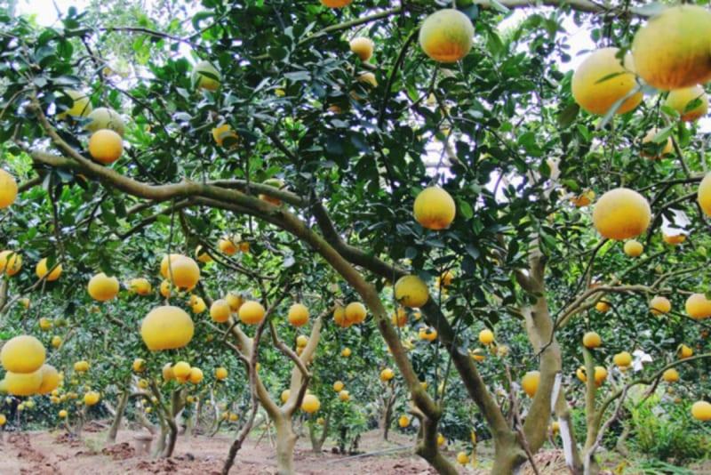 Cây bưởidiễn sai quả vào mùa thu hoạch
