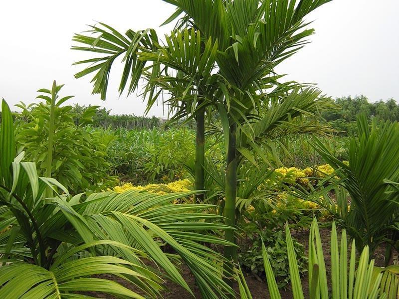 Cay Cau Ta 800x600