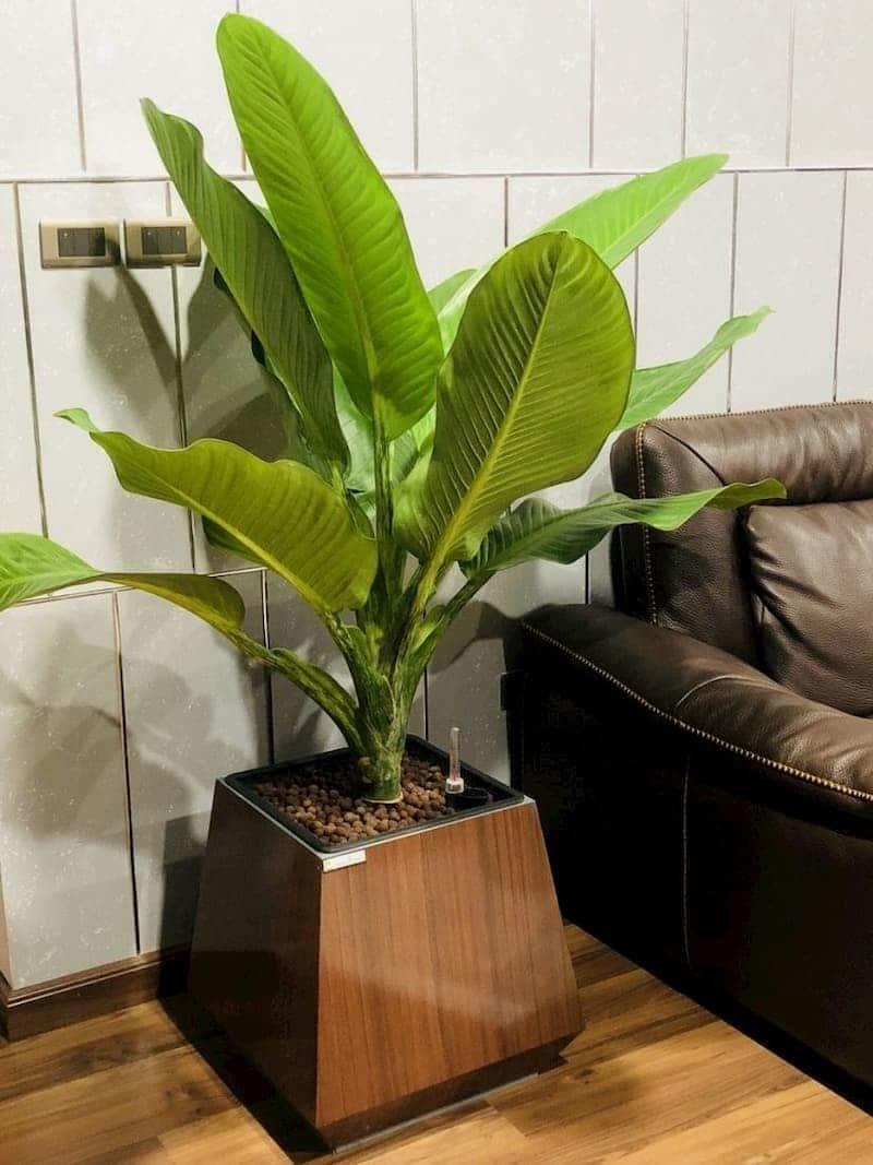 Cây đại phú gia trồng trong chậu màu nâu đặt cạnh ghế sofa