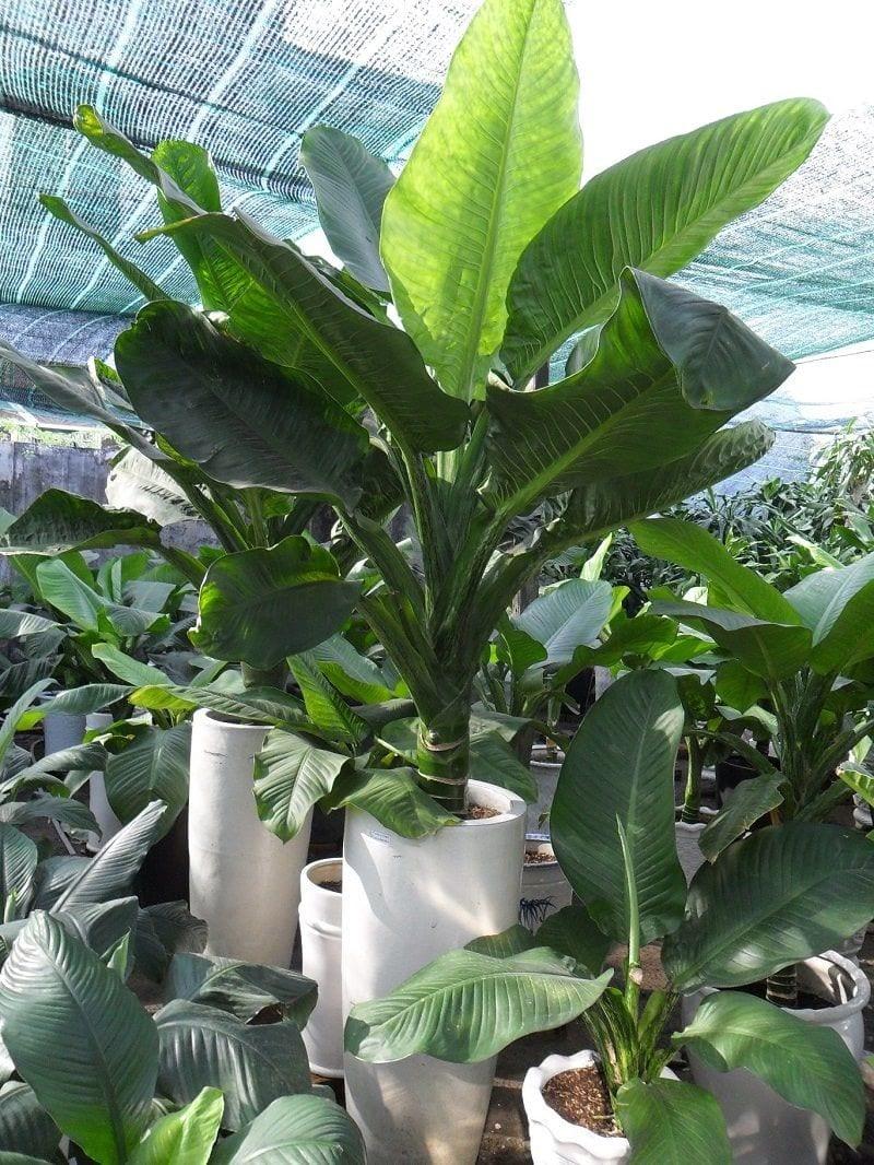 Cây đại phú gia được trồng tại vườn, với nhiều chậu khác nhau