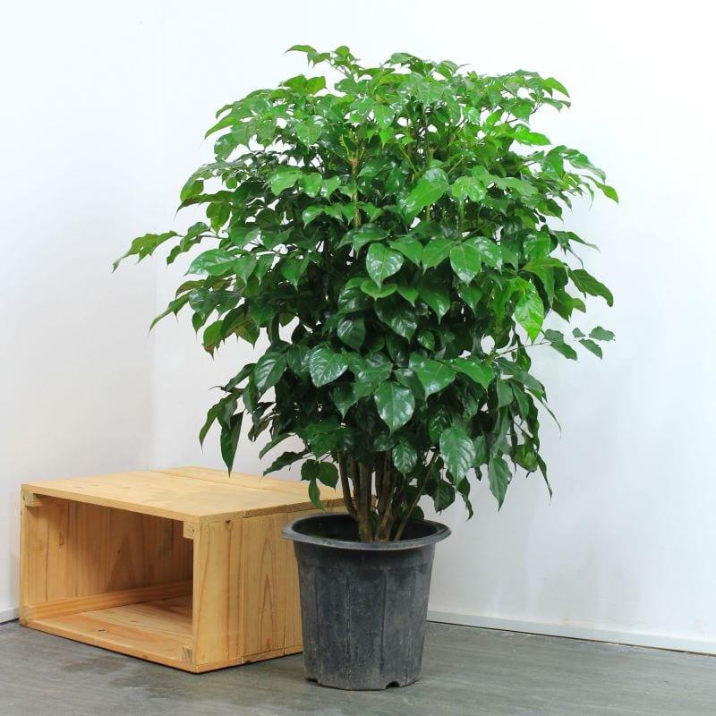 Cây hạnh phúc được trồng trong chậu đen trong nhà