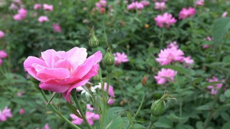cây hoa hồng quế