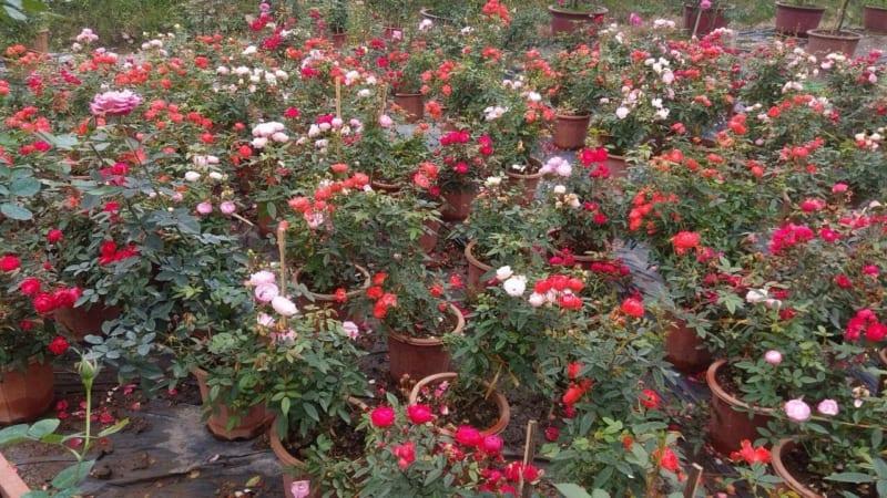 cây hoa hồng trứng