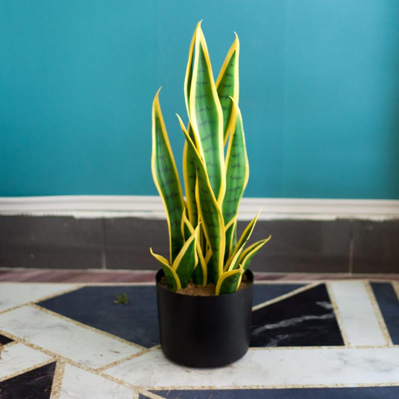 cây lưỡi hổ mini đặt trên nền đá hoa trong nhà