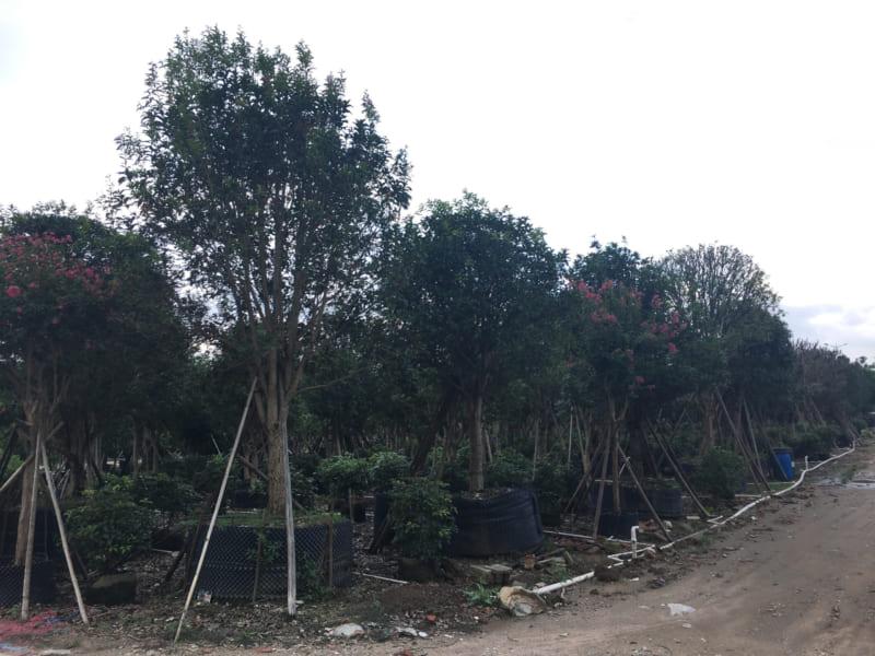 Cay Moc Huong 4 800x600