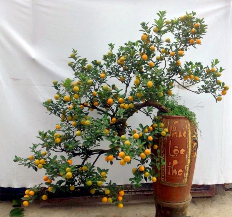 Cây quất bonsai trồng trên chậu đất