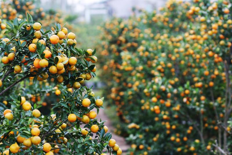 Vườn quất sai trĩu quả trồng thành hàng