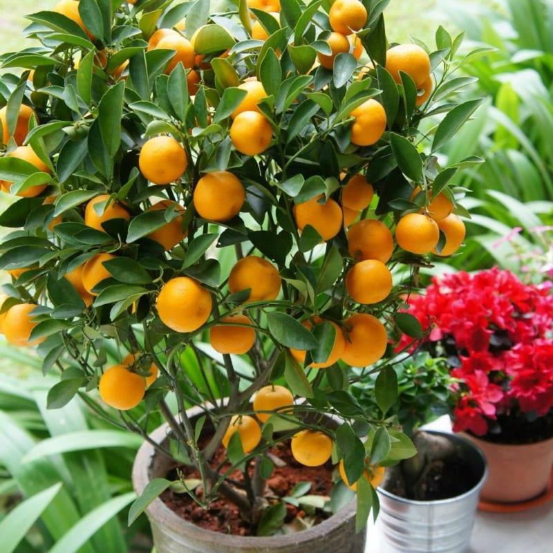 Cây quất chín quả trồng trong chậu