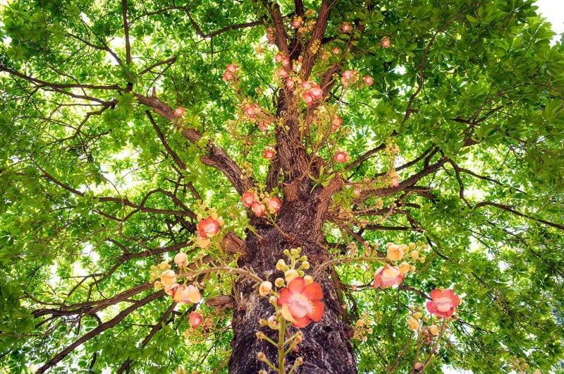 Cây sala ra hoa đỏ hồng với các tán lá lớn