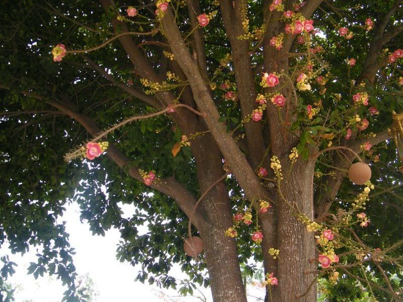 Cây sala với các cành lớn, những chùm hoa rũ xuống