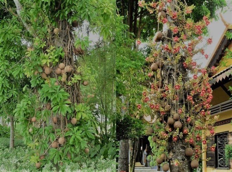 Cây sala với quả to, hoa màu đỏ hồng, tán lá rộng