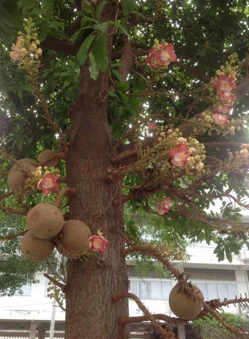Cây sala to lớn ra hoa và quả