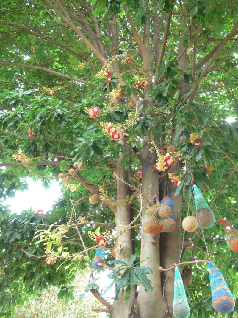 Cây sala ra hoa với quả lớn, quả được bọc để không bị rơi