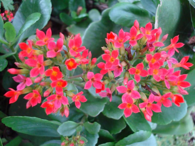 cây sống đời hoa đỏ đẹp