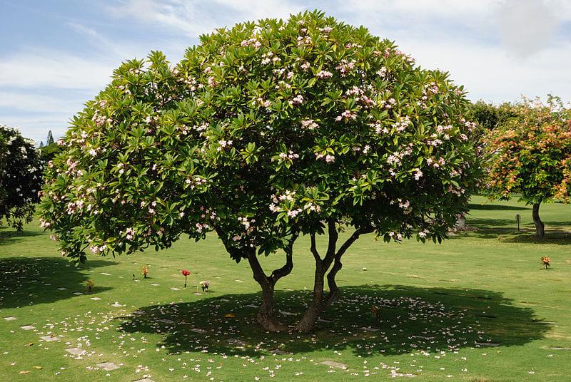 cây công trình có hoa đẹp đó là cây sứ đại
