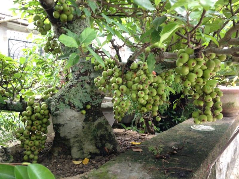 cây sung sai quả trồng làm cảnh tại sân vườn