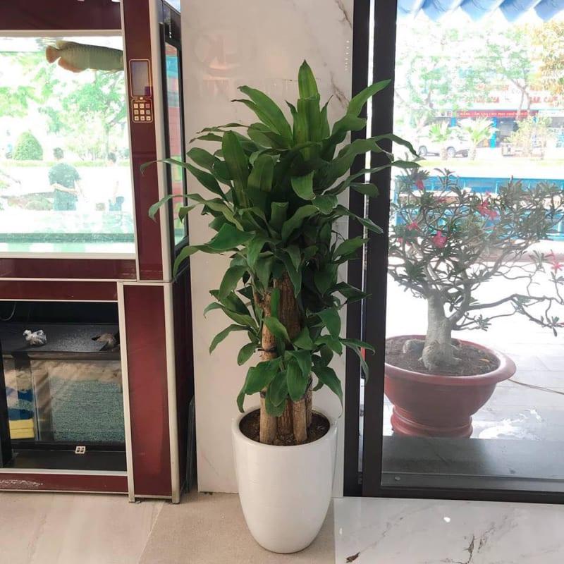 Cay Thiet Moc Lan 800x800