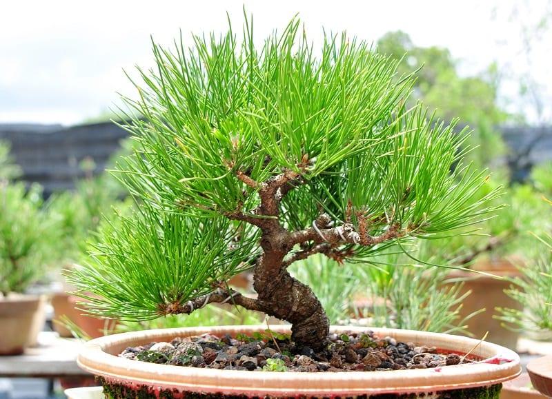 Chậu cây thông đẹp trồng trong nhà