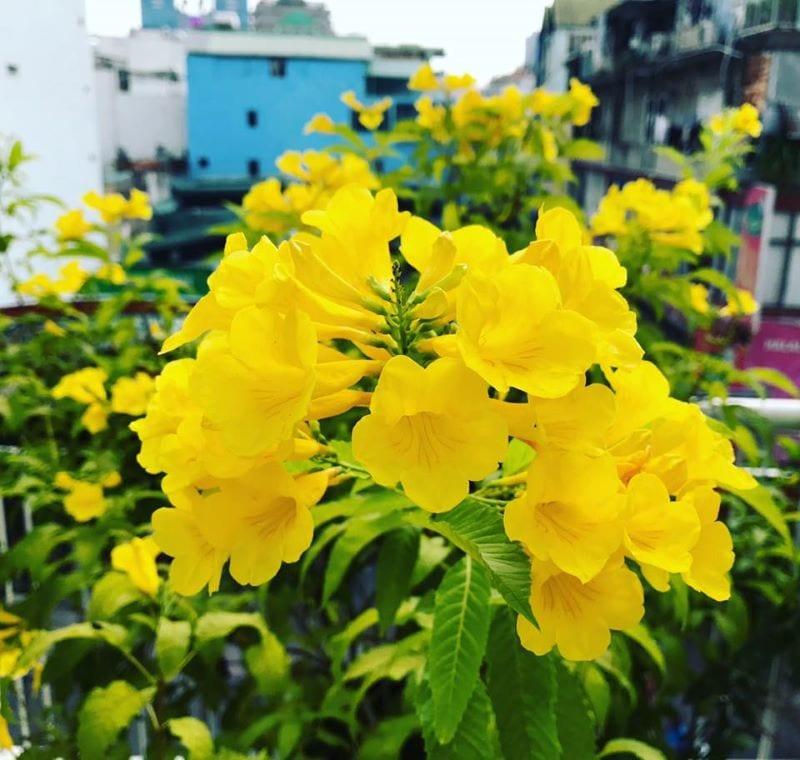 Hoa Chuong Vang 1 800x760