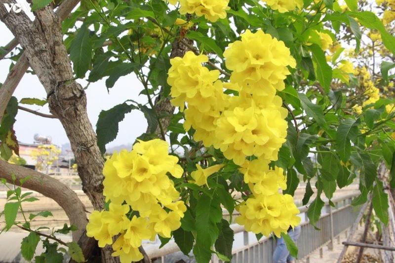 Hoa Chuong Vang 21 800x533