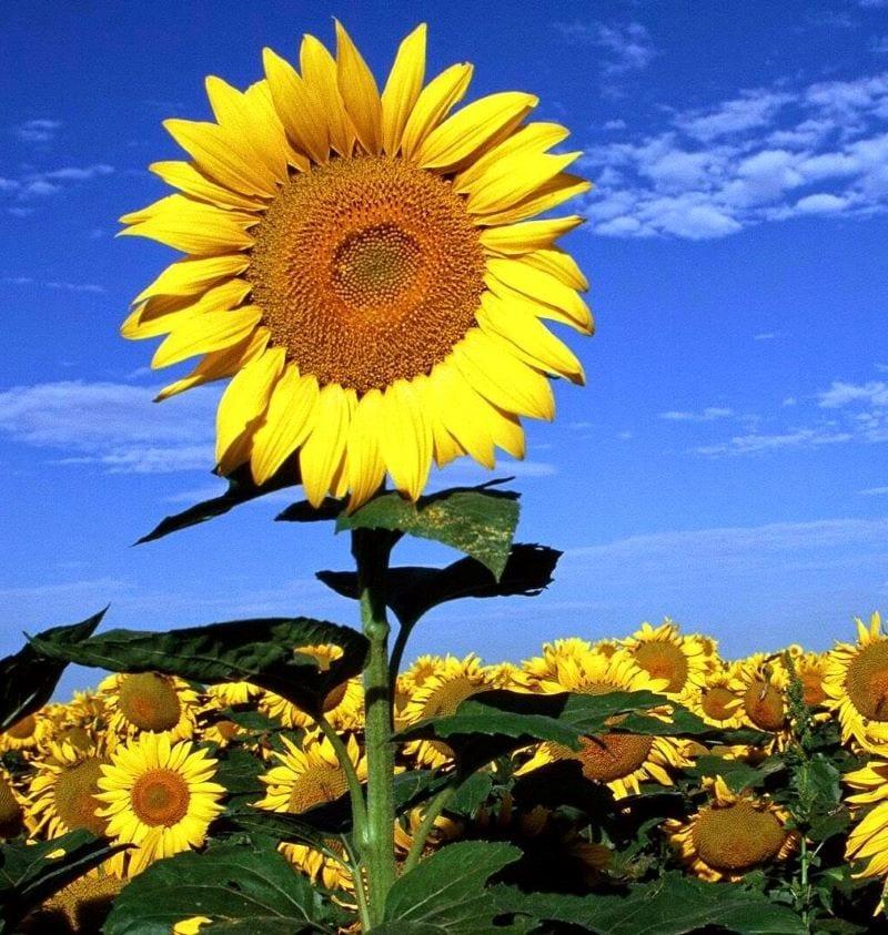Hoa hướng dương vươn lên giữa cánh đồng hoa