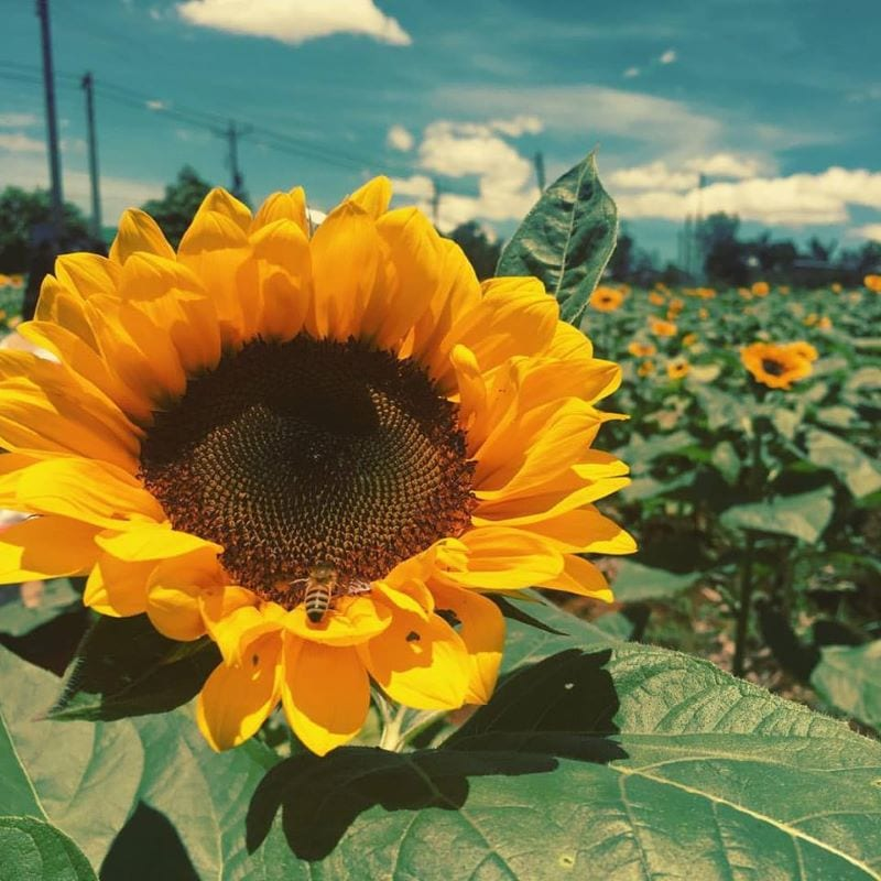 Một bông hoa hướng dương ở giữa cánh đồng