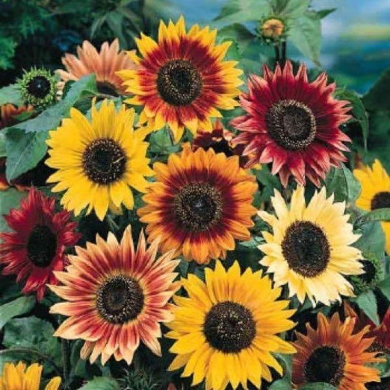 8 bông hoa hướng dương cam đỏ