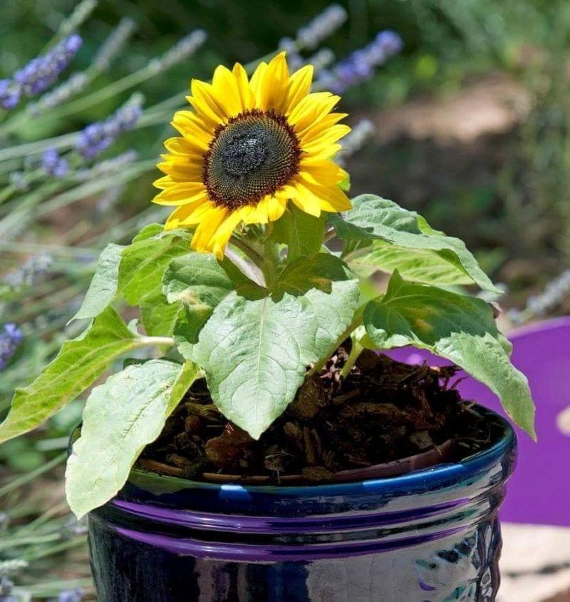 Hoa hướng dương lùn được trồng trong chậu đen