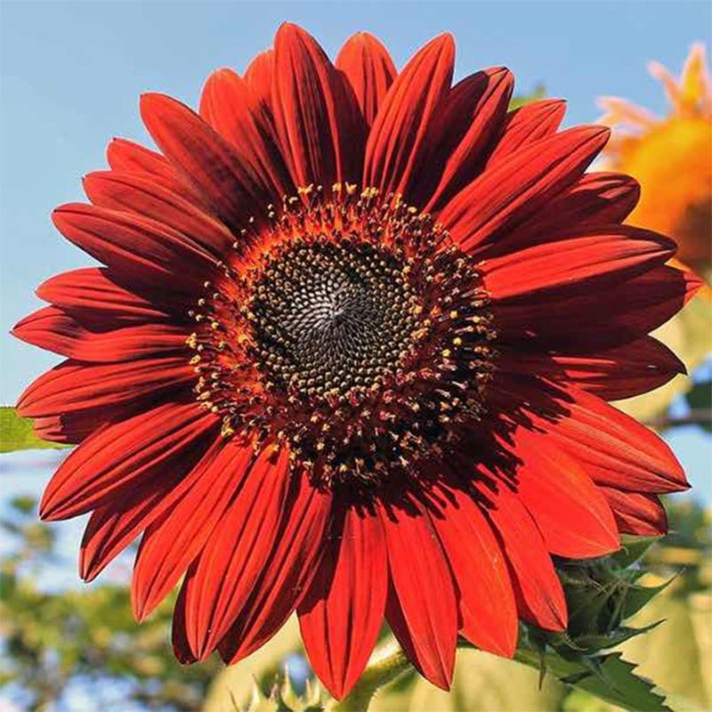 Hoa hướng dương đỏ với cánh hoa đỏ và nhụy đen