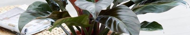 Cây trầu bà đế vương trồng trong chậu sứ trắng