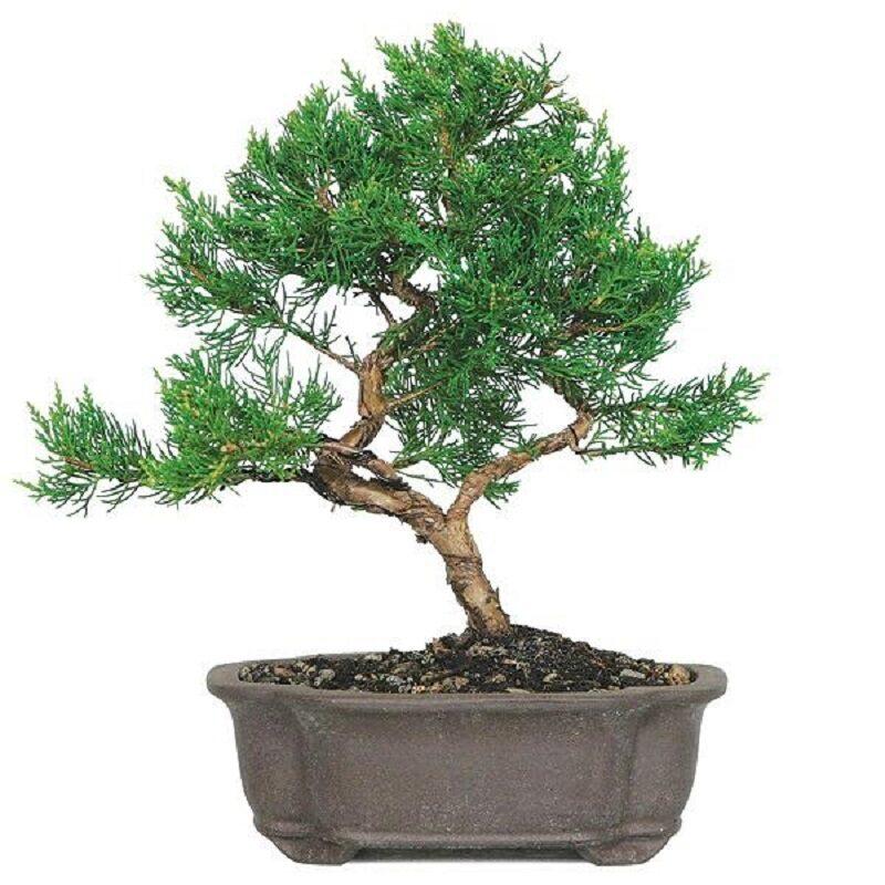 cây bách xù shimpaku được cắt tỉa, uốn cành tạo thế đẹp được trồng trong chậu nhỏ