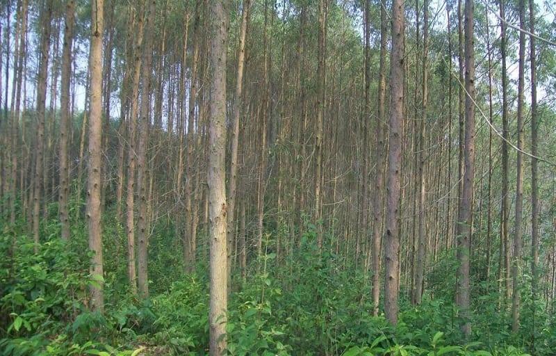 rừng bạch đàn xanh tốt, thân cây cao, thon tròn
