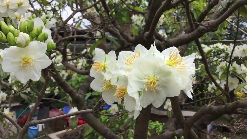 những bông hoa bạch mai 5 cánh màu trắng nhụy vàng