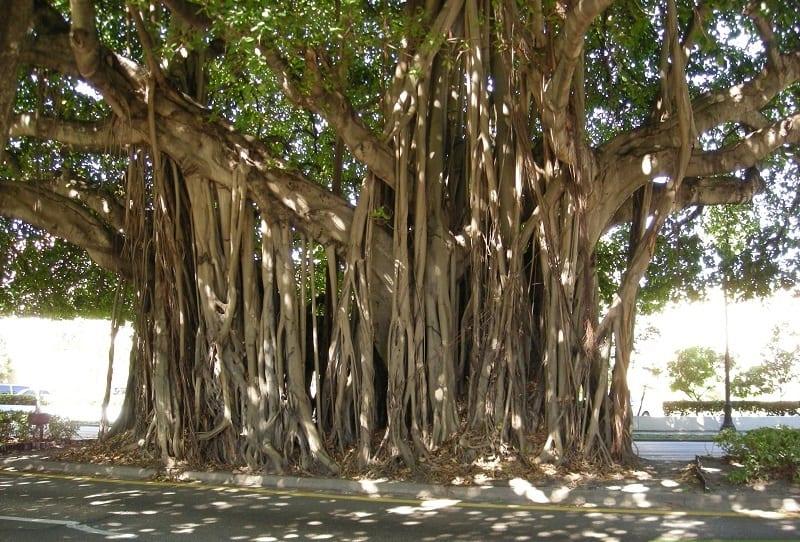 cây bồ đề cổ thụ to lớn