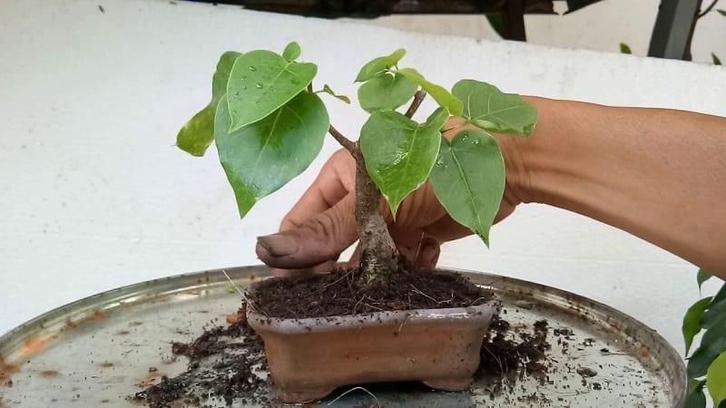 mầm cây bồ đề nhỏ mới mọc vài cái lá