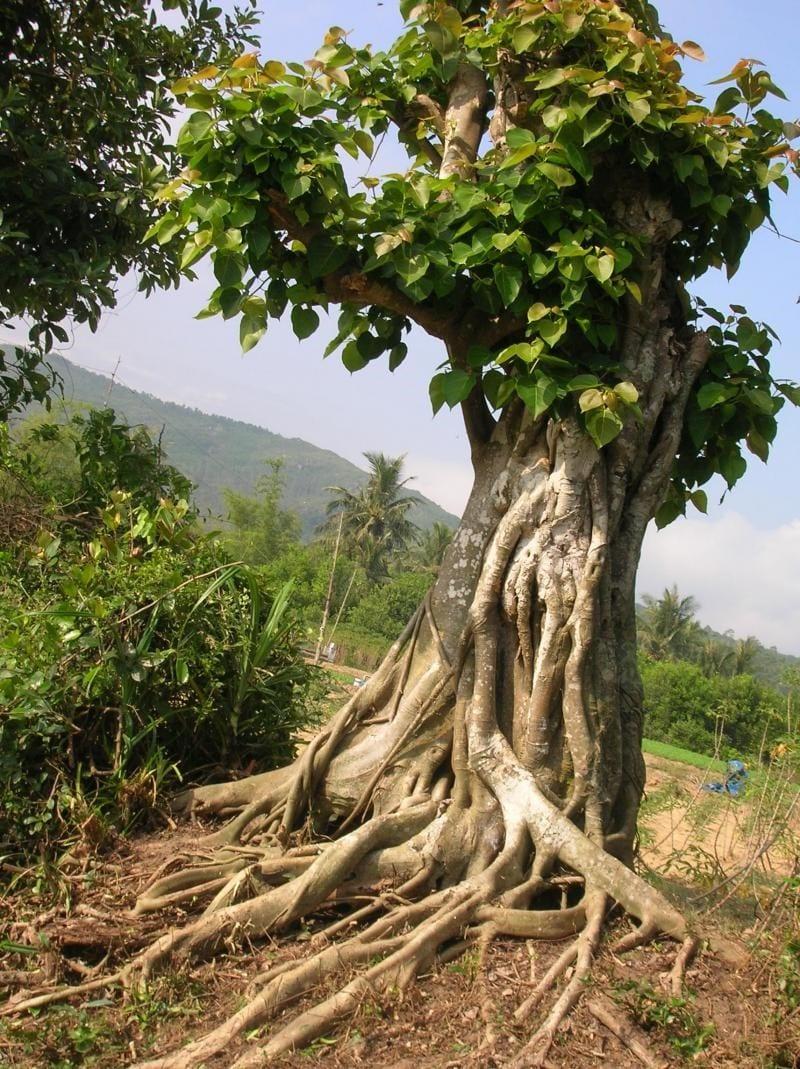 cây bồ đề được trồng trong vườn ươm giống, thân rất lớn đã được cắt tỉa bớt cành lá