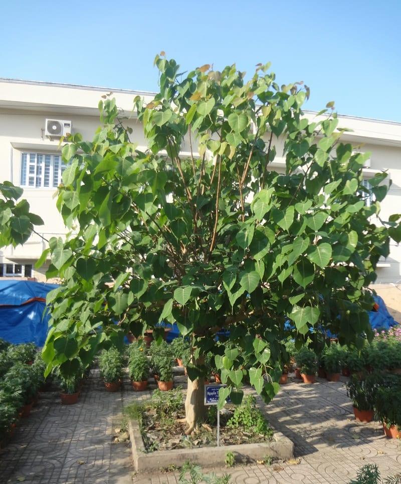 cây bồ đề được trồng xanh tốt giữa sân nhà