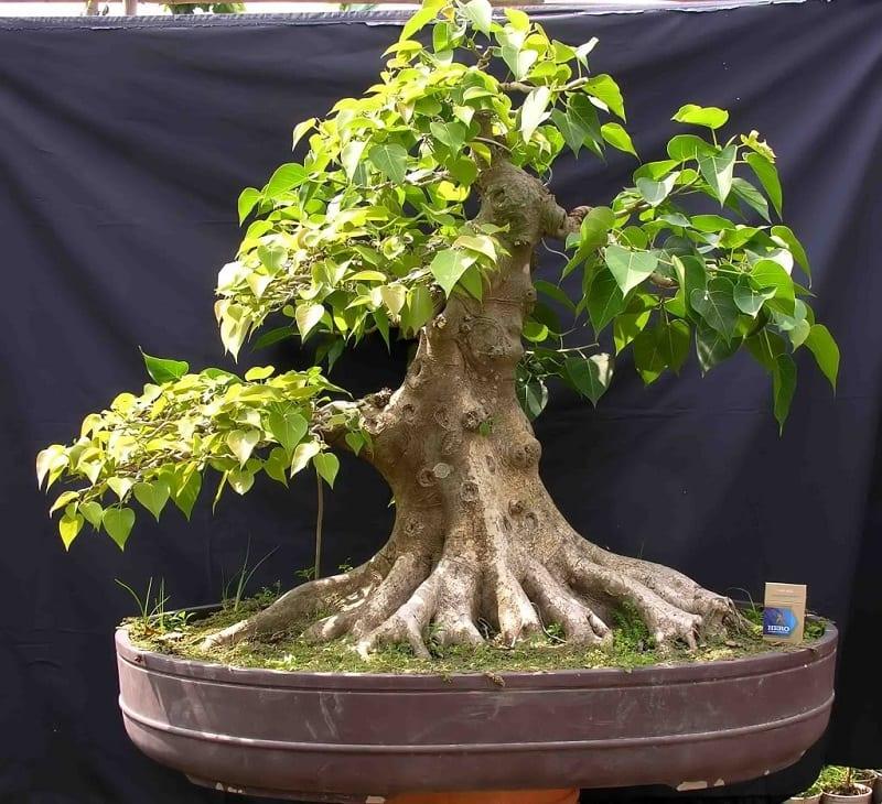 cây bồ đề bonsai được cắt tỉa 3 tầng gọn gàng