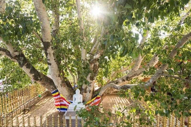 Dưới gốc cây bồ đề là bức tượng Phật màu trắng đang ngồi thiền