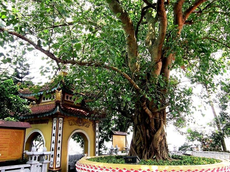 cây bồ đề cổ thụ, tán rộng lớn ở chùa Trấn Quốc, Hà Nội