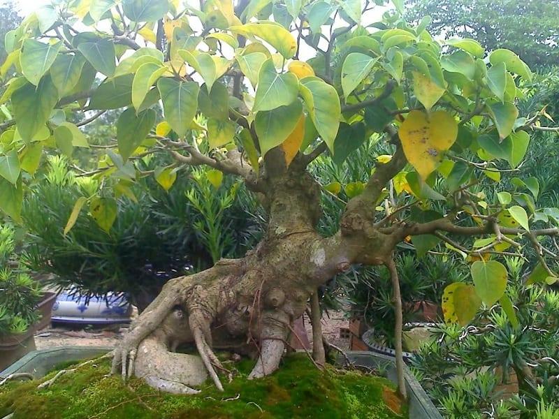 cây bonsai bồ đề có một số lá đang bị vàng