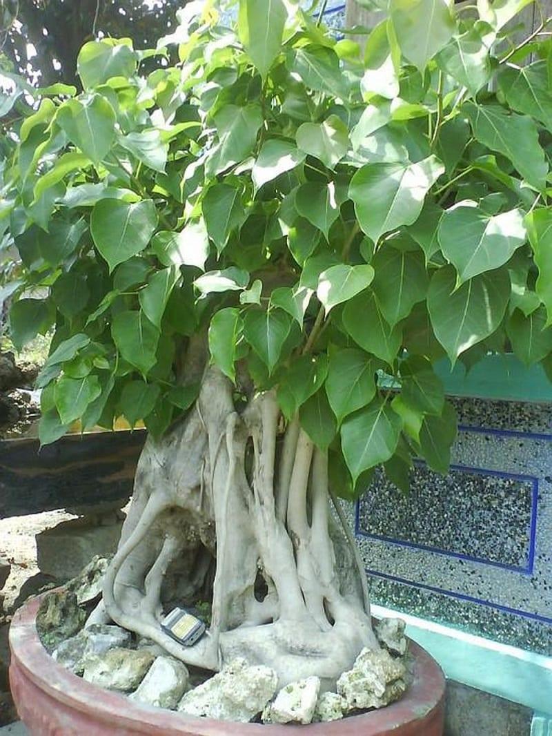 cây bồ đề bon sai trồng trong chậu đỏ, lá hình trái tim màu xanh, thân cây to gồm nhiều rễ phụ
