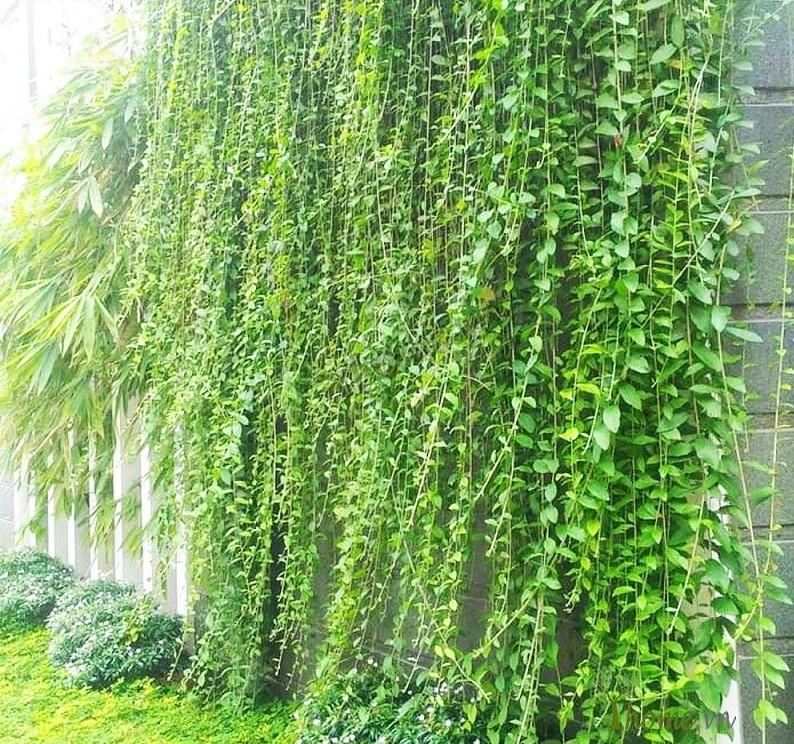 Cây cúc tần Ấn Độ xanh tốt leo rủ từ trên cao xuống tường nhà